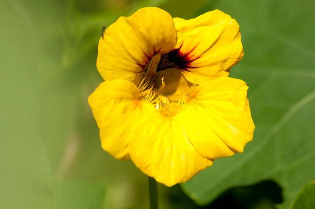 květ lichořeřišnice