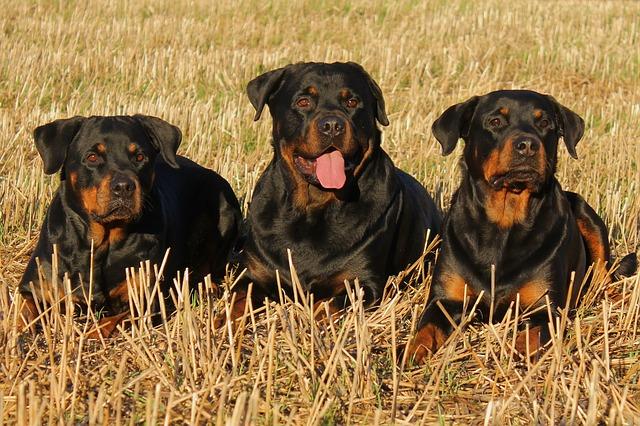 tři rotvajleři